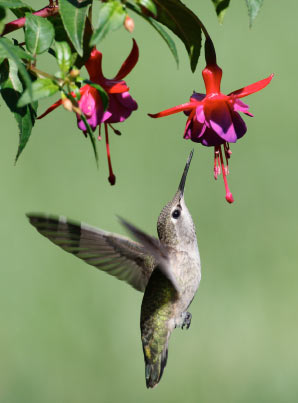 Beautiful How To Attract Hummingbirds To Your Backyard